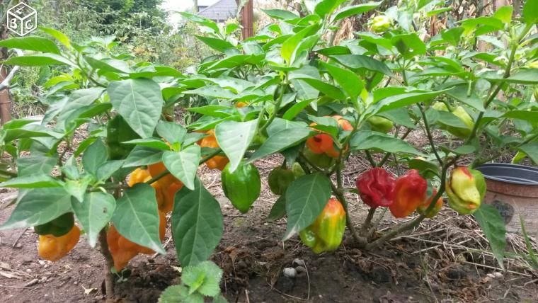 Plants piment HABANERO bondamanjak des Antilles 3 Obernai (67)