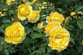 5 plants de rosier nain jaune 6 Dégagnac (46)