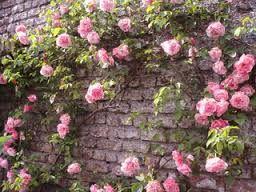 2 plants de rosier polyantha rose rens par mail ou tel 3 Dégagnac (46)