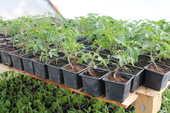 Plants de tomate 1 Arpheuilles (18)