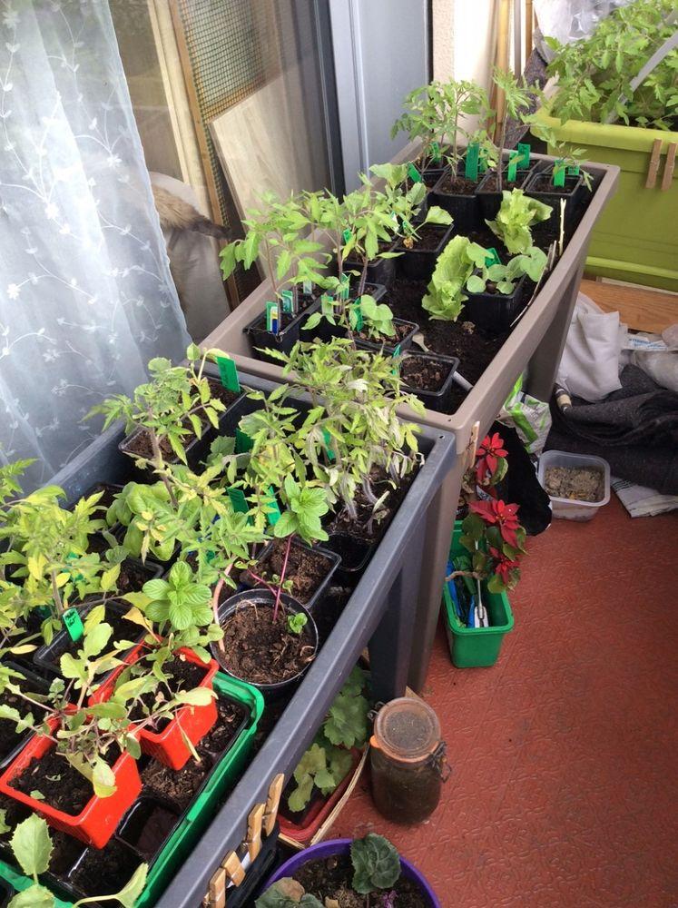 Plants de tomates 1 Menton (06)