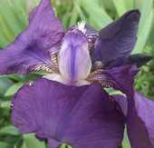 Lot de 3 rhizomes d'IRIS VIOLET de mon jardin 2 La Seyne-sur-Mer (83)