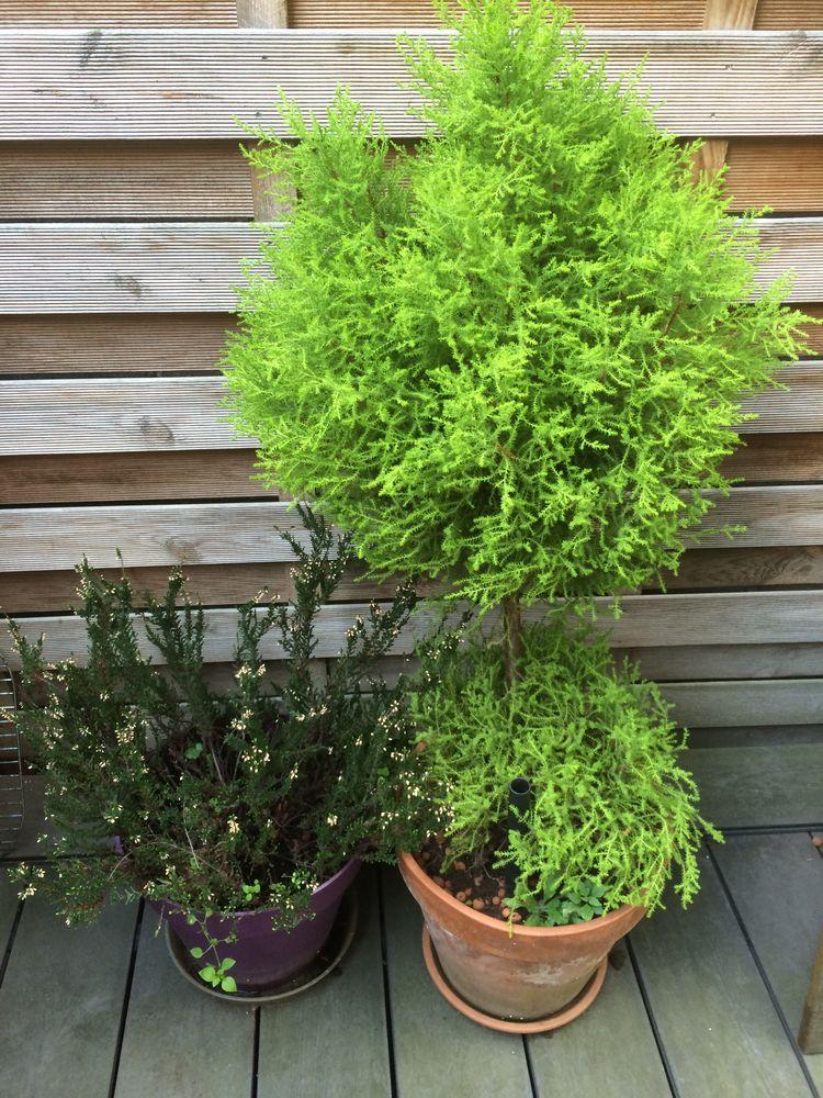 plante haute en pot papyrus jardinire haute en mtal et plantes graminees grande plante. Black Bedroom Furniture Sets. Home Design Ideas