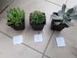 Succulentes echeveria  50 cts l unité  1 Mortain (50)
