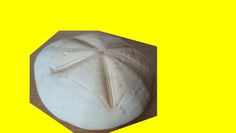 Test d'Oursin Metalia 11,3 cm -coquillage-déco-collection 15 Saint-Pôtan (22)