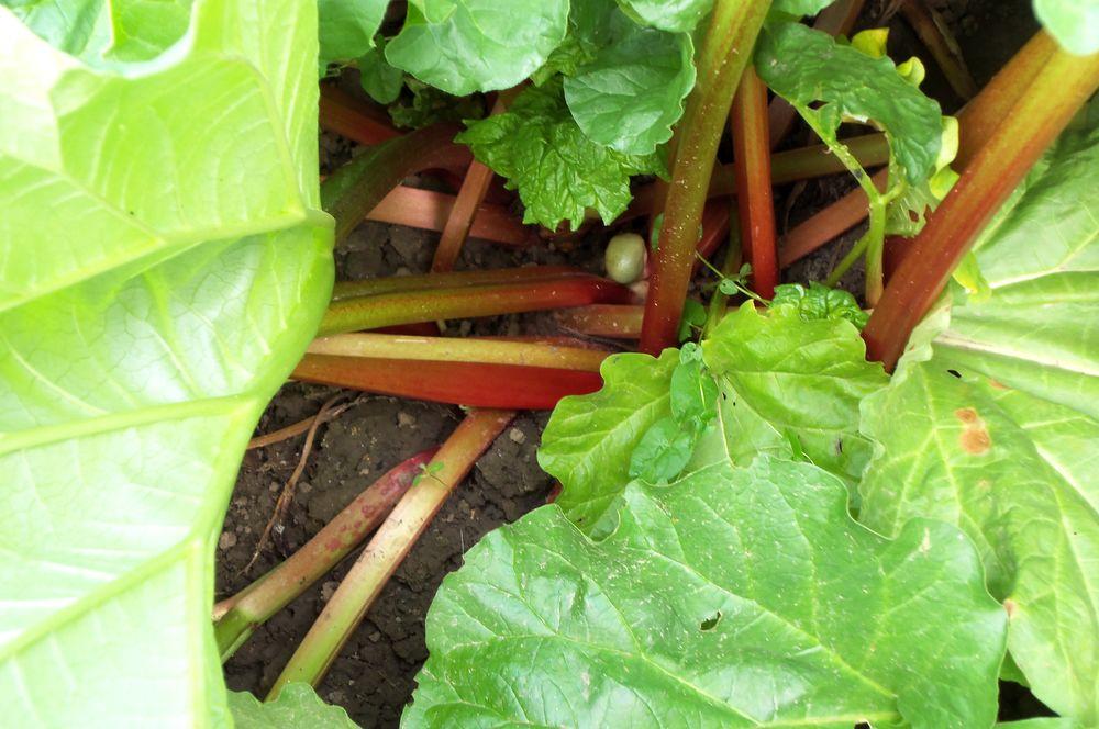 Tiges de rhubarbe pour confiture  5 Goussainville (95)
