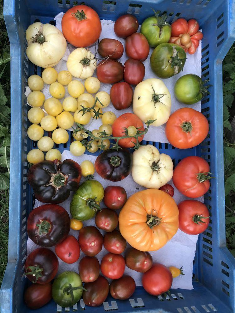 Tomates bio issues d?un jardin en permaculture 5 Paris 4 (75)