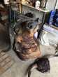 trophée de buffle africain
