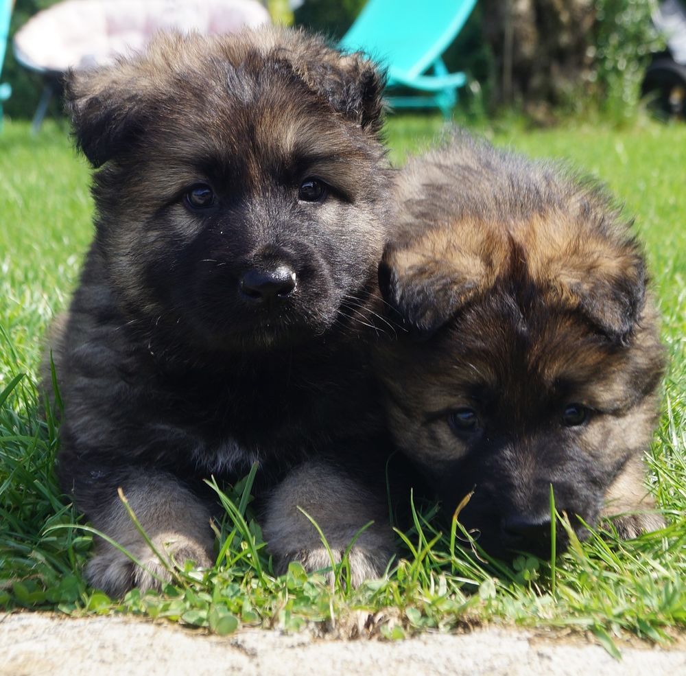 Chiots berger allemand ancien type poils long