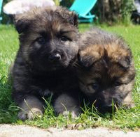 Chiots Berger Allemand ancien type poils long 980