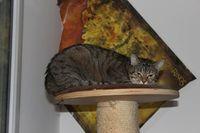 PURE, gentille chatte tigrée à l'adoption 150 44600 Saint-nazaire