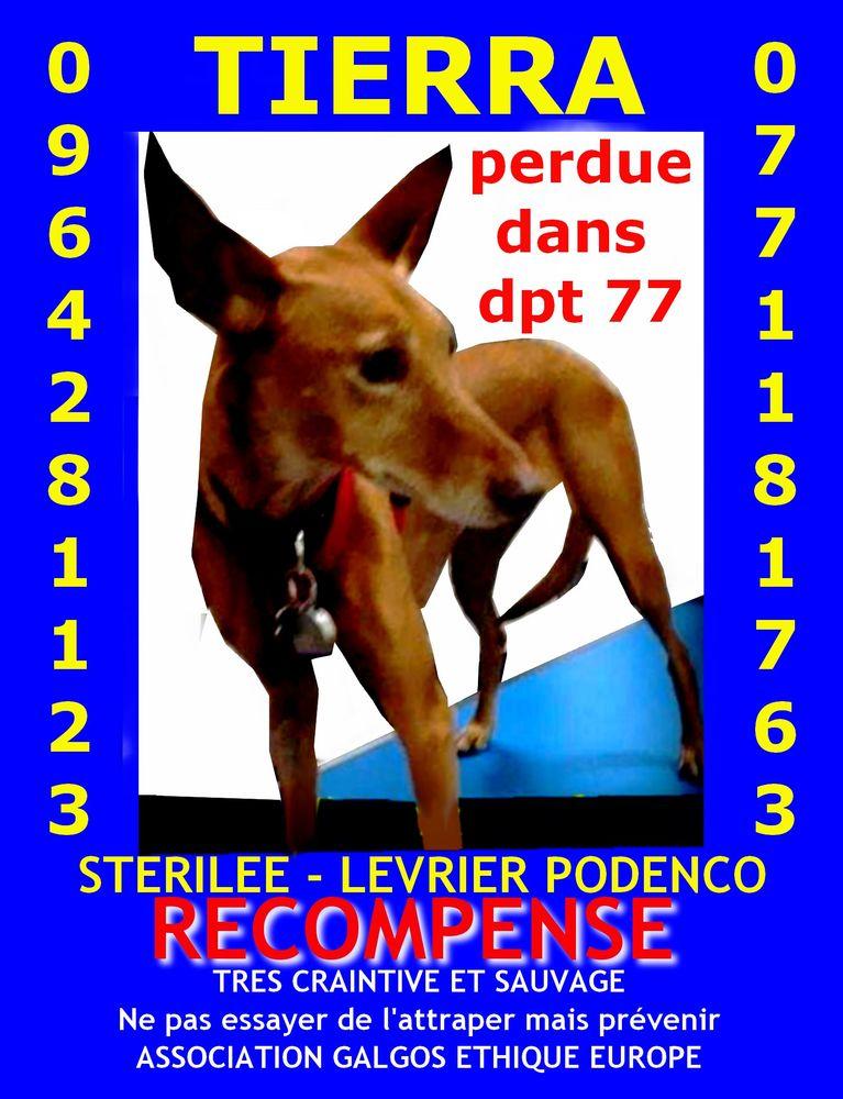 LEVRIER MARRON PERDU DPT 77