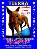 LEVRIER MARRON PERDU DPT 77 0