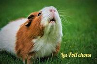 Recherche familles d'accueil cochons d'Inde 0 21110 Tart-le-haut