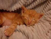 RAFAEL magnifique chaton roux de 2mois 98
