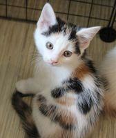 Rauni, européen tricolore femelle née le 10/04/2020 (59) 105