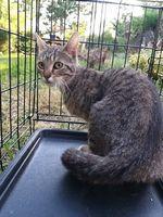 Pinky Winky, européen brown tabby femelle née le 28/07/2019 (59) 105