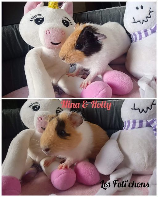 Duo femelle cochons d'inde Nina et Holly