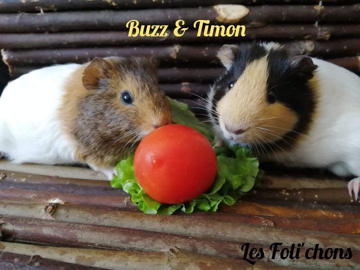 Duo cochon d'inde mâle Buzz & Timon