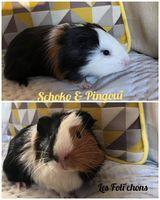 Duo cochon d'inde mâle Schoko & Pingui 40 21000 Dijon
