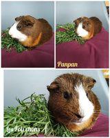 Panpan, mâle cochon d'inde 20