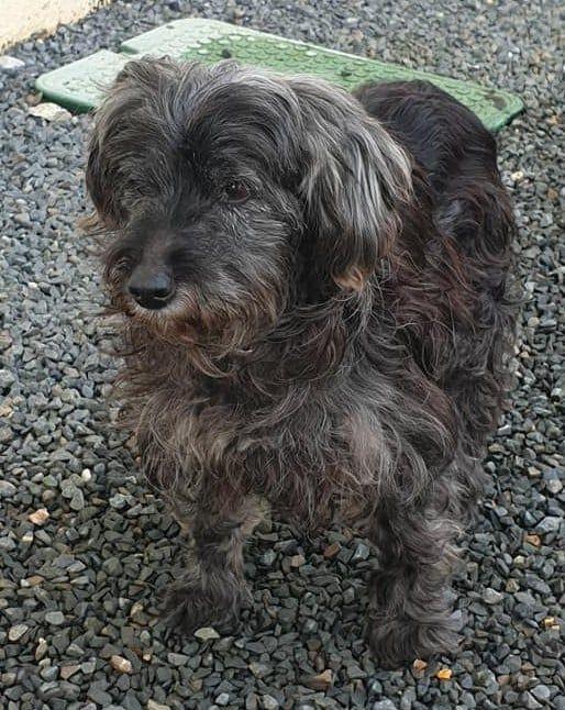 Oursin, doux croisé yorkshire terrier