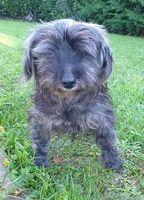 Oursin, adorable petit chien type Yorkshire 160 50500 Carentan