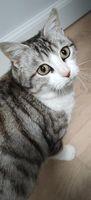 Torvi, sublime chatte tigrée et blanche 98 50110 Tourlaville