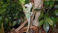 Caméléon casqué mâle