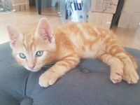 Sunday chaton cherche son foyer 55 62000 Arras