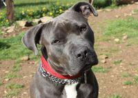 PIXEL, superbe croisé American Staffordshire Terrier à l'adoption 250 18210 Bessais-le-fromental