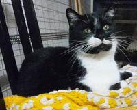 Grominet chat noir et blanc cherche nouveau départ