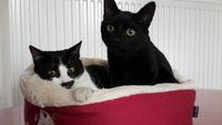 adoption 2 chatonnes de 5 mois