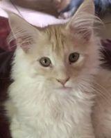 Très beau chaton Maine Coon LOOF grand gabarit 1300