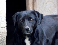 JAYA, jolie croisée Labrador à l'adoption