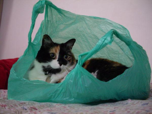 PERDUE le 30/08/2013 chatte, à saint gely du fesc