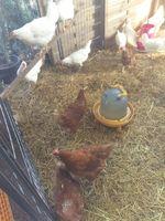 poule pondeuse dans votre jardin  pour valoriser vos déchet