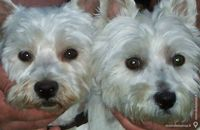 Splendide westie male de 1 an dispo pour saillie