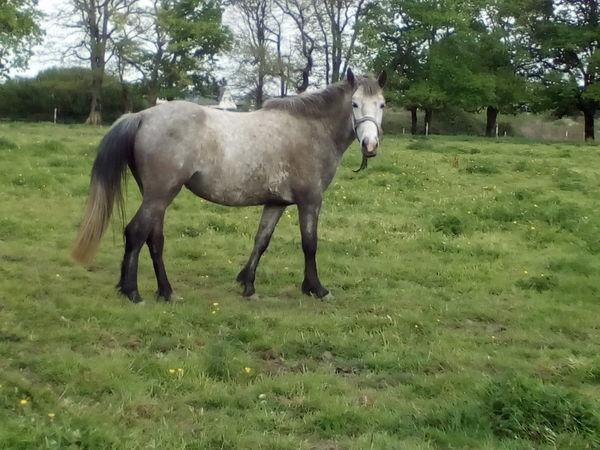 Pension chevaux et poneys sur plescop
