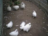 poules padoux de pure race