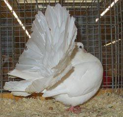 PIGEON FANTAIL BLANC MARSEILLE