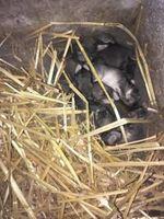A réserver adorable lapins géant des Flandres