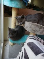ADORABLES CHATONS CHARTREUX
