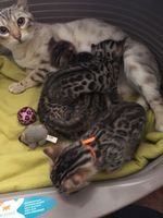 Bengal Chat Chaton Annonces Chats Et Chatons A Donner Ou Adopter