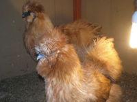 oeufs fecondes de poules d ornement