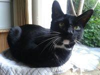Avis de recherche pour mon chat perdu Pussycat sur Anglet. 0