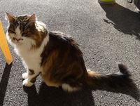 Perdu chat type croisé norvégien
