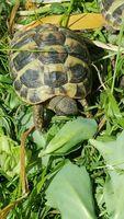 tortue de terre  en règle avec tous les papiers necessaires
