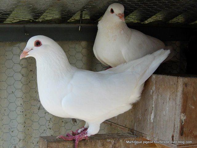 pigeons blanc