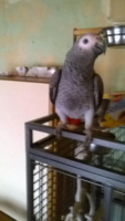 Perdu perroquet 0